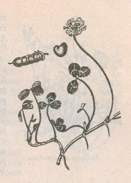 Клевер ползучий (белый)