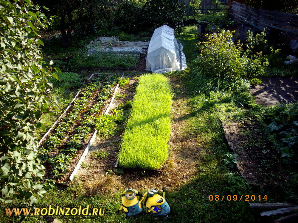 Особенности выращивания сидератов