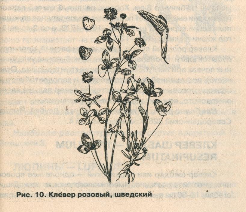 Клевер гибридный (розовый, шведский
