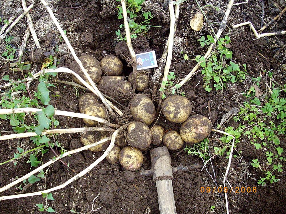 Ранние и среднеранние сорта картошки