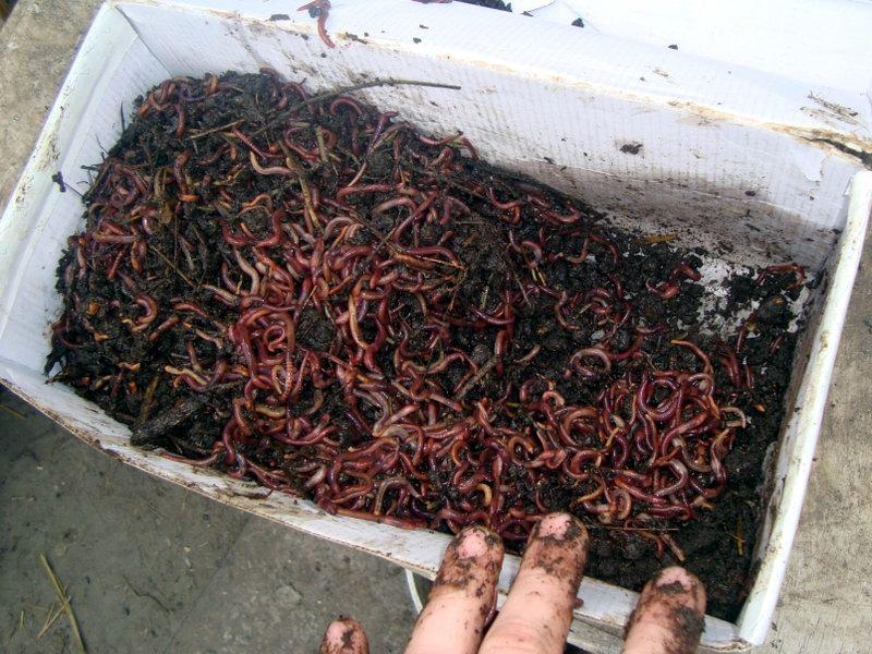 Культивирование дождевых червей