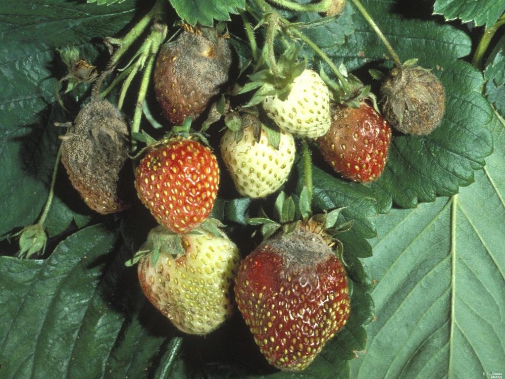 Болезни ягодников