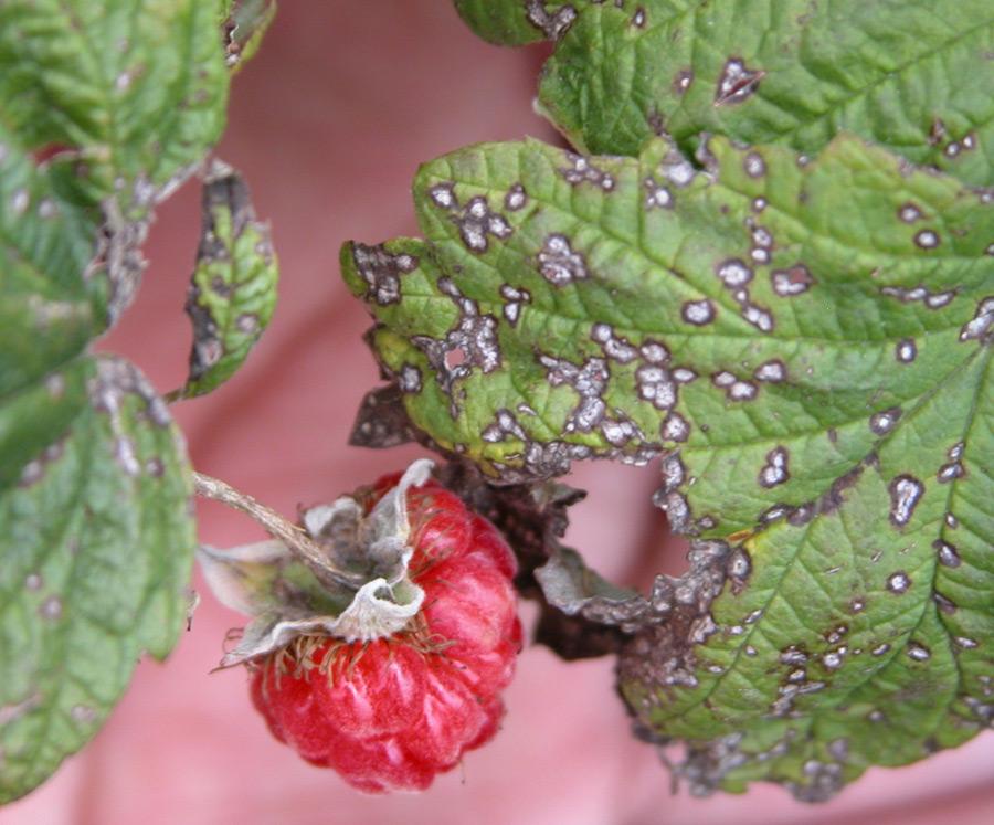 Вредители и болезни ягодников